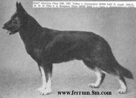 старотипная немецкая овчарка фото
