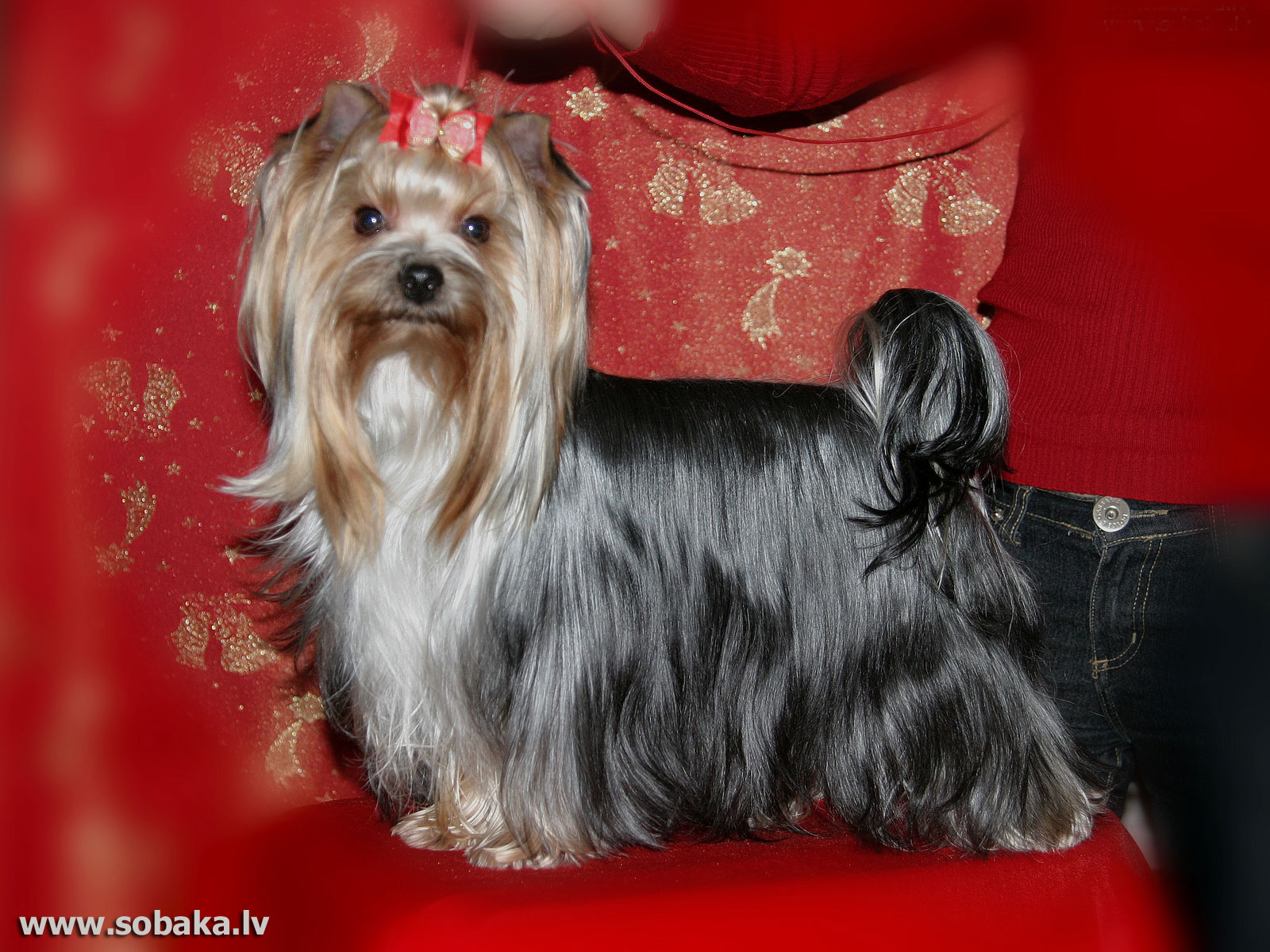 Yorkshire,terrier,lying,fabric,face,beautiful,dog,hd,wallpaper,animal,hd animal wallpaper,wallpaperdx animals,full hd