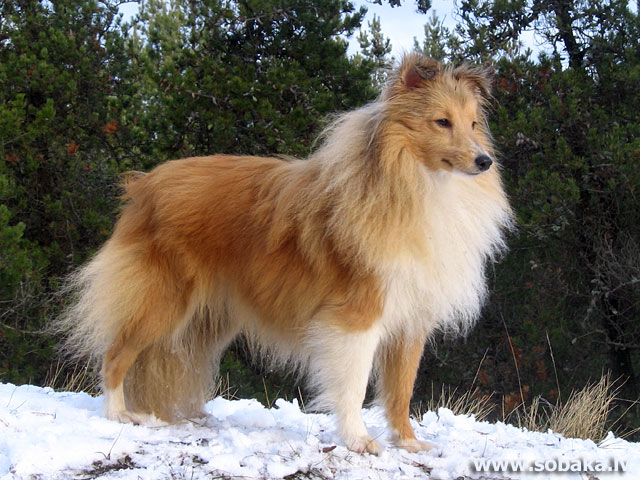 Шелти shetland sheepdog sheltie