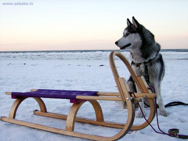 Сибирский хаски фото 3571
