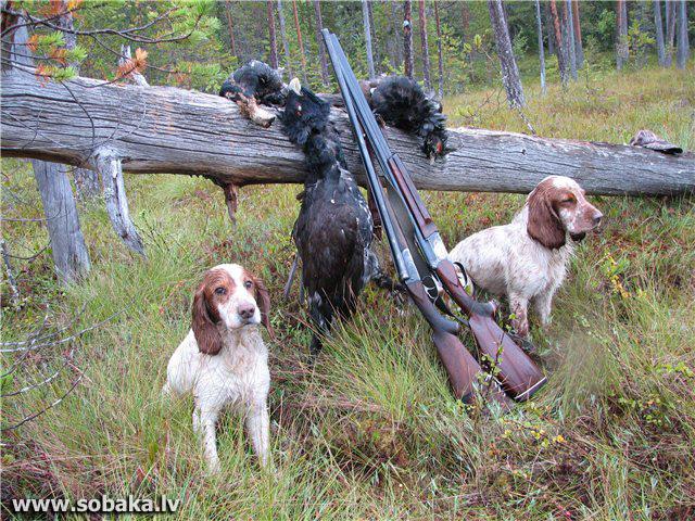 Русский охотничий спаниель купить в самаре
