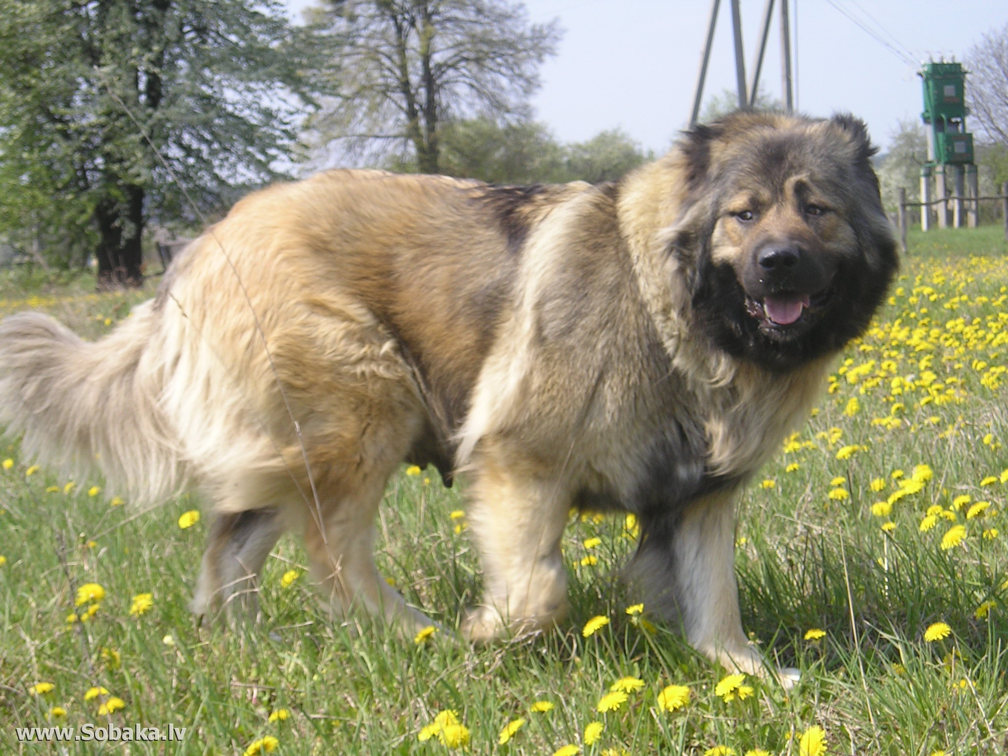 Pictures Of The Biggest Dog Breed In The Galaxy