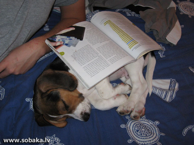 Сибирский хаски характер описание фото щенки цены