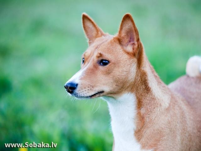 собака молчун фото