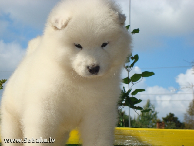 Самоеда самоедская собака белый волк