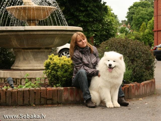 Самоедская собака потап белый волк