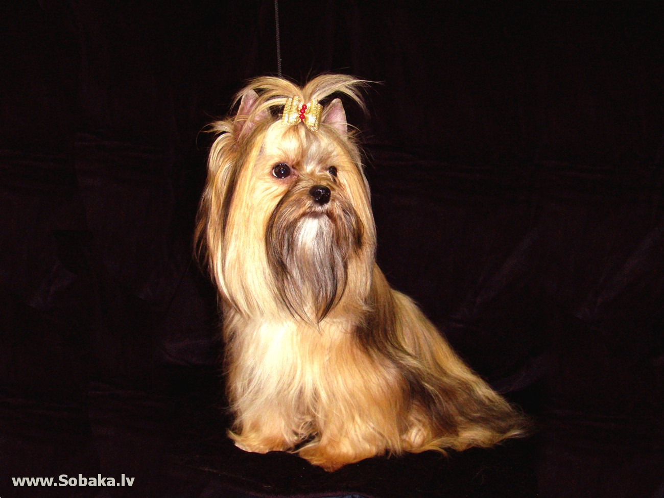 Русская салонная собака