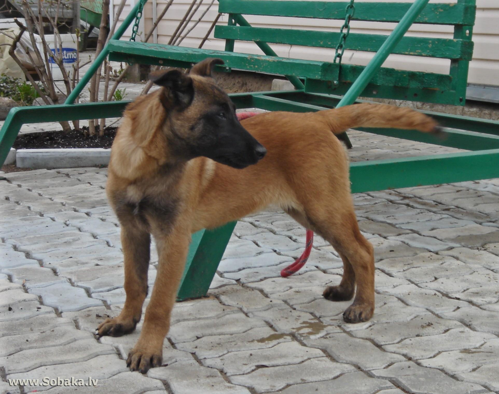Фотографии животных и растений - Фотографии собак/щенок Малинуа.