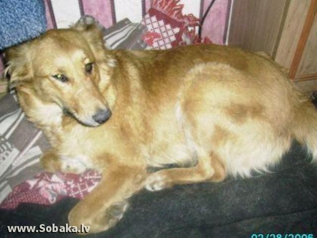 Молодая рыжая собака помесь такса с дворняжкой