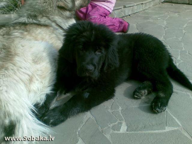 Тибетский мастиф вольф владелец