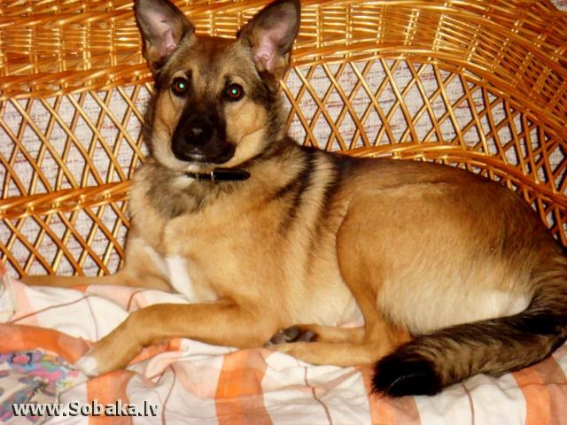 Карело-финская лайка Фото 47365.  Просмотров: 69.