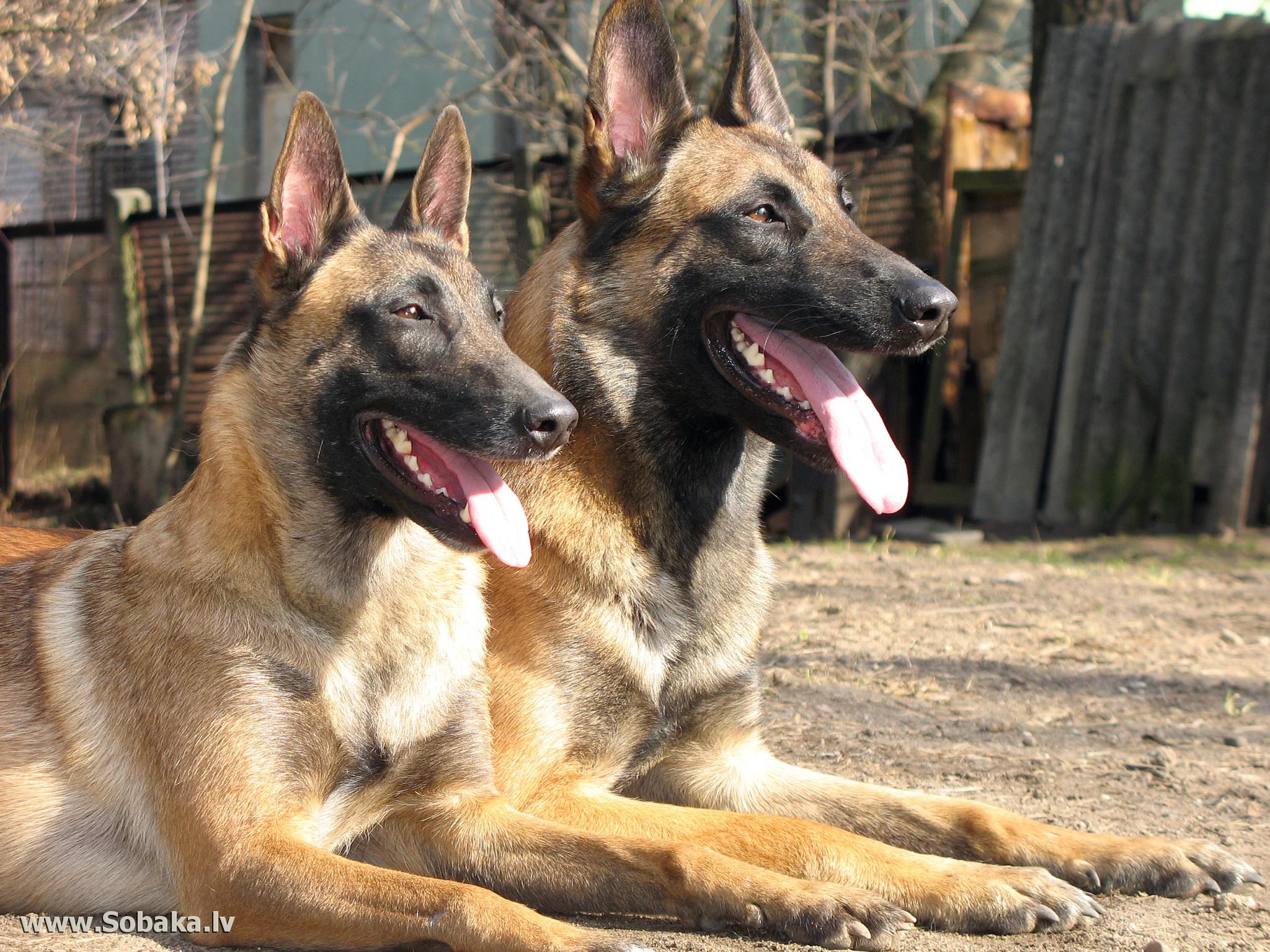 Малинуа фото собаки, Малинуа фото породы собак обои, Малинуа фото
