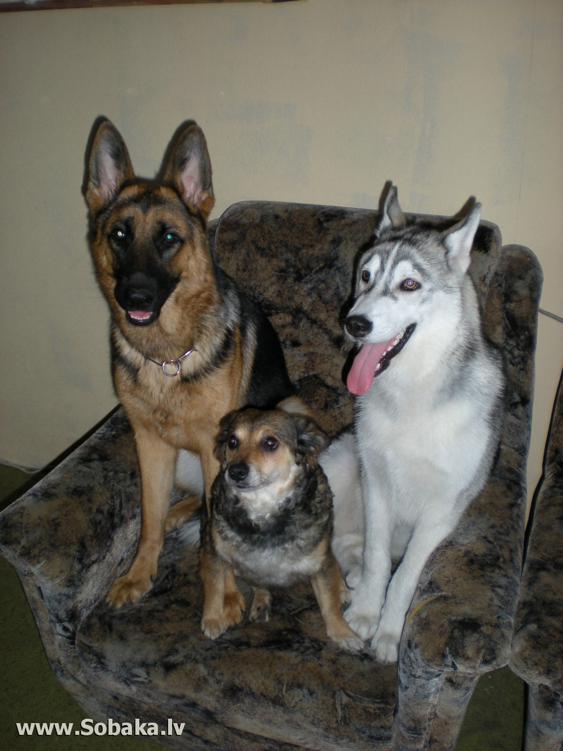 Blue shepherds can be born in a litter with traditional colored puppies