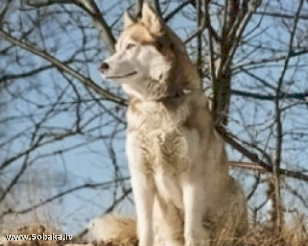 Пропала собака г.Раменское, сибирская хаски, тайга, черно-белый ... | 819x1024