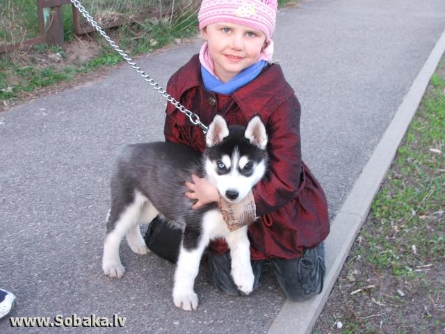 Сибирский хаски айси фото 60396