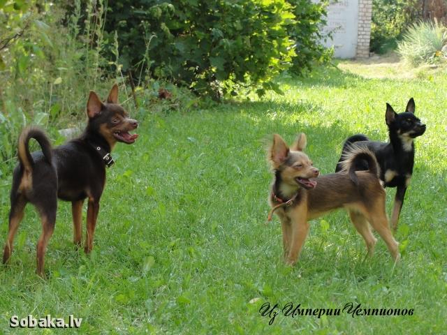Порода собак русский тортерер фото