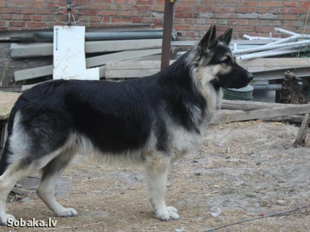 длинношерстная восточно-европейская овчарка фото
