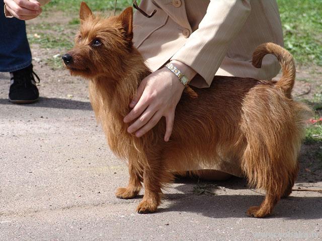 Австралийский терьер australian terrier