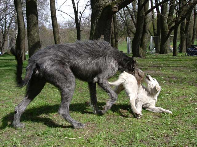 порода волкодав собака фото