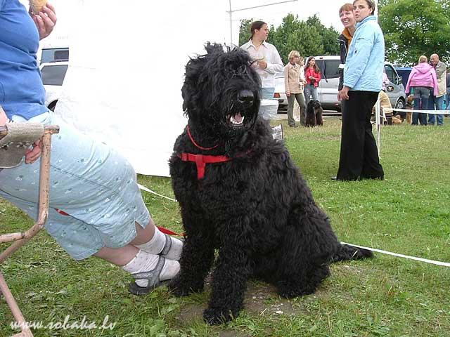 Русский черный терьер black russian terrier