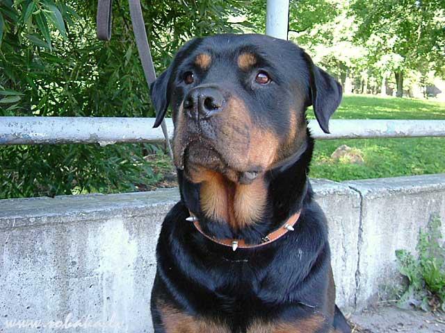породы собак фото ротвейлер