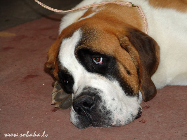 Сенбернар (Saint Bernard Dog)