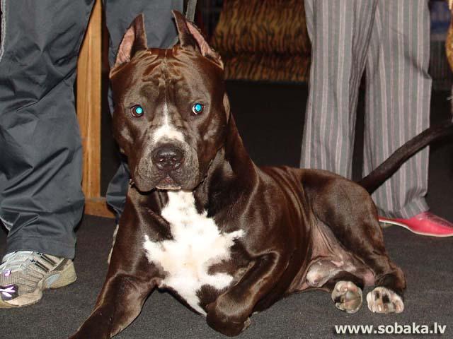 породы собак стаффордширский терьер фото
