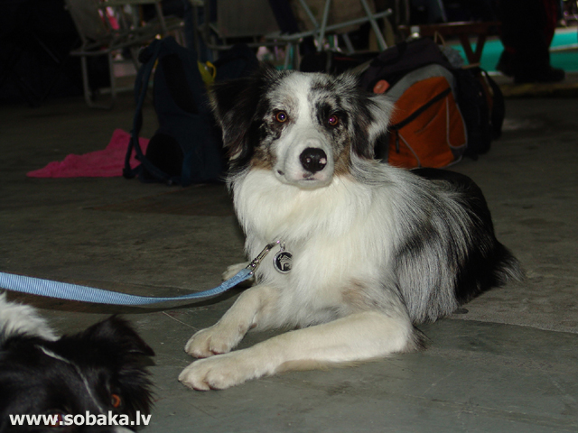 Бордер-колли 
