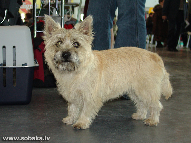 Керн-терьер 