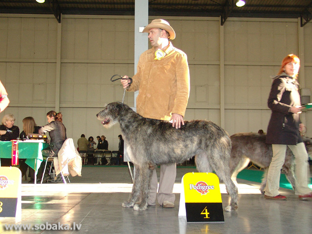 Ирландский волкодав 