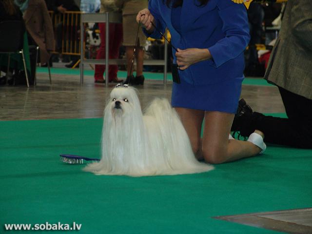 Мальтийская собака фото 9