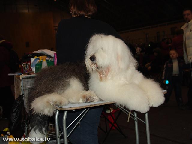 Бобтейл old english sheepdog bobtail