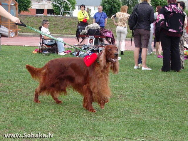 Ирландский красный сеттер 