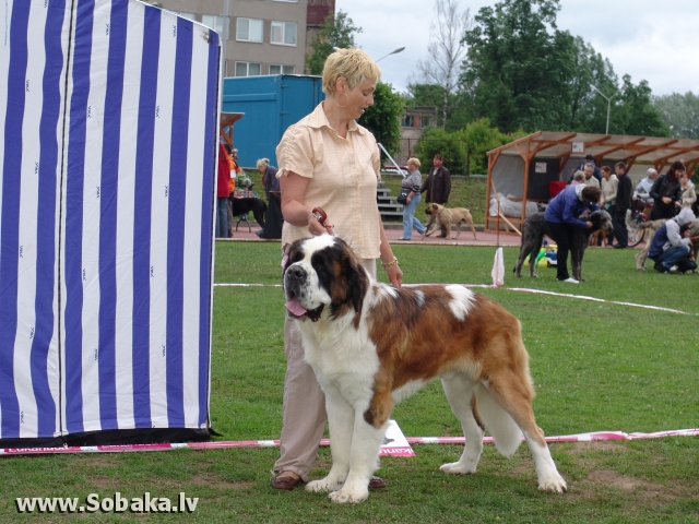 Сенбернар 