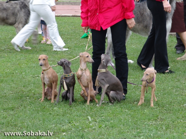 Левретка 