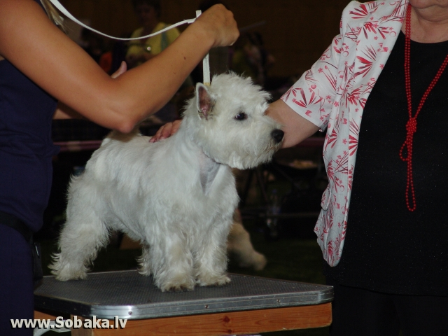 Вест-хайленд-уайт-терьер 
