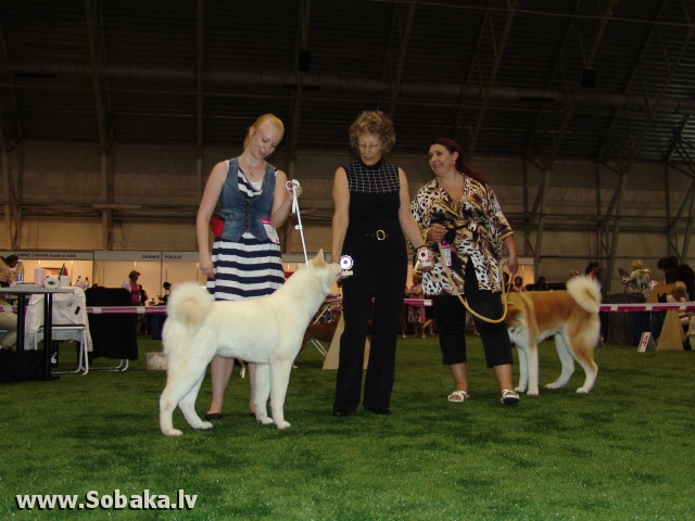 Акита-ину 